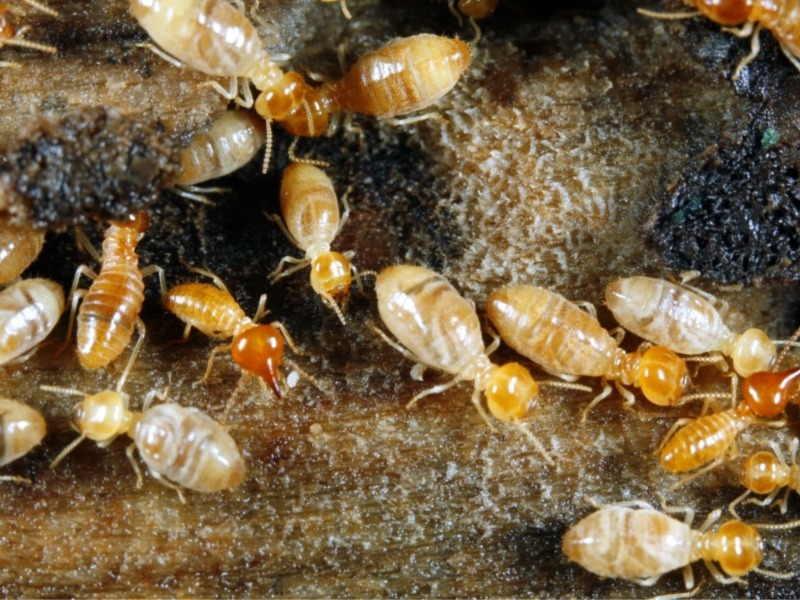 necesito eliminar termitas