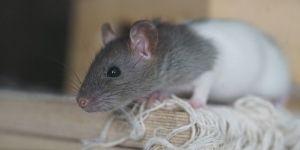 Plagas de ratas 1