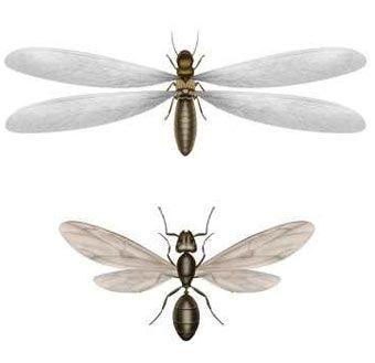 En qué se diferencian térmitas y hormigas alas