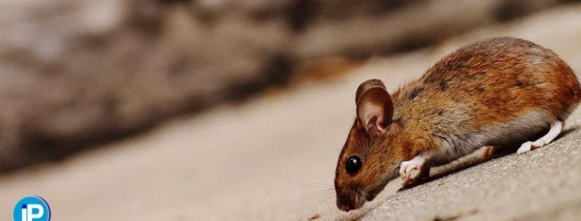 Ratones en casa 03