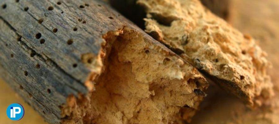 Diferencias entre las termitas y la carcoma Portada
