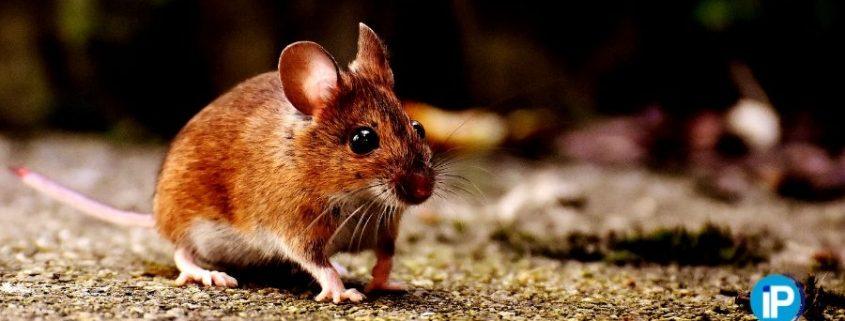 Cómo ahuyentar ratones en casa de forma eficaz