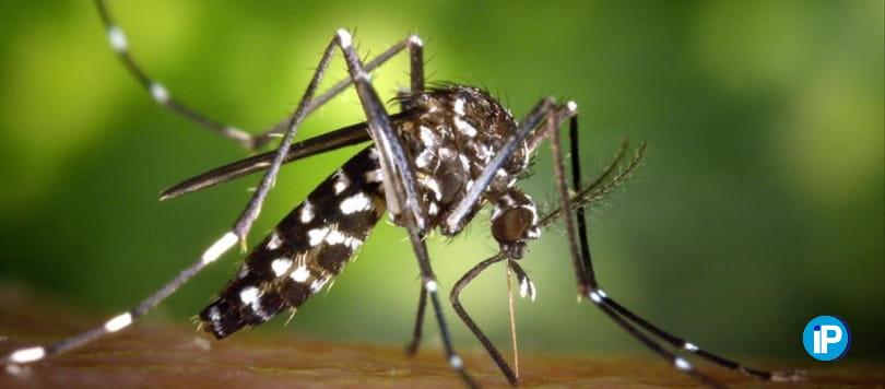 El mosquito tigre una de las plagas más peligrosas del verano