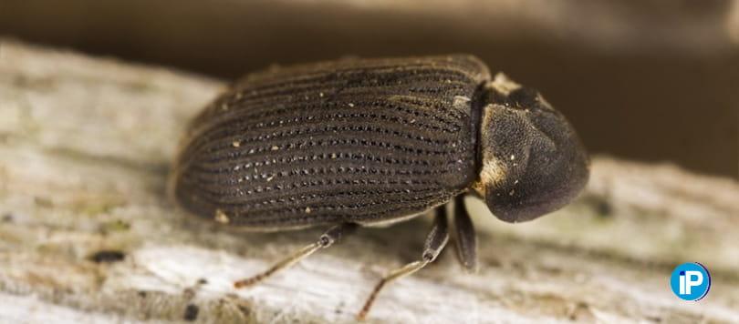 Tratramiento contra la Carcoma, el insecto de la madera