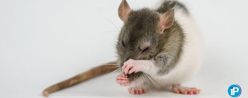 Consejos para eliminar una plaga de ratas