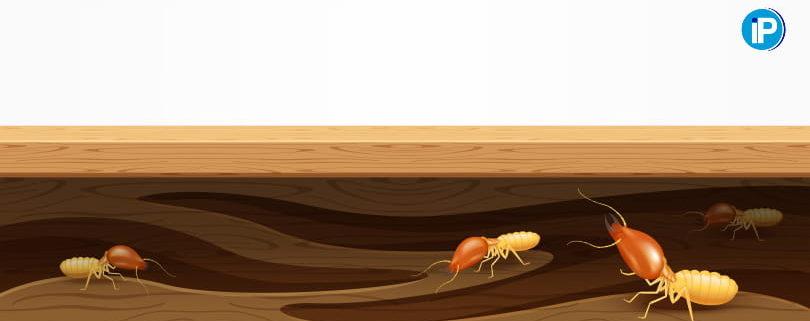 Diferencias entre termitas subterráneas y termitas de madera seca