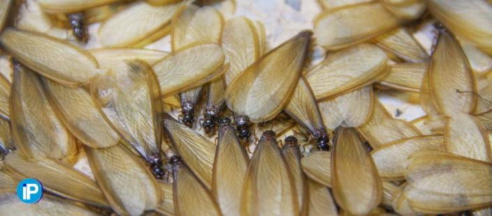 Qué son las termitas aladas