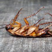 las cucarachas no entienden de coronavirus