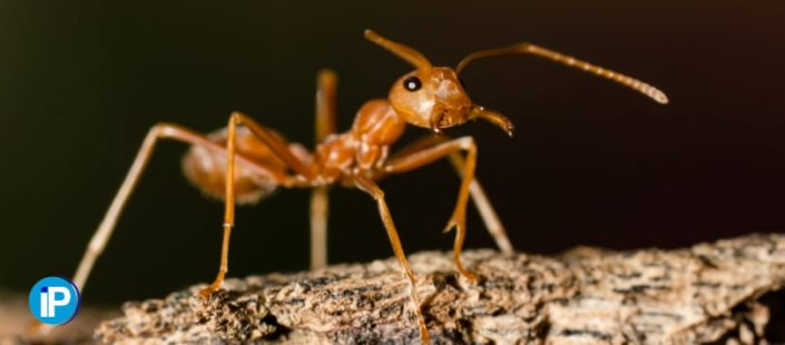 Cómo encontrar nidos de hormigas en casa