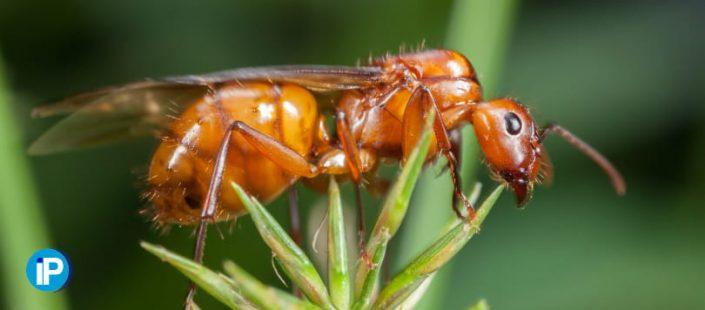 Plaga de hormigas aladas, ¿como saber si tengo una plaga