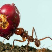 Peligros de una plaga de hormigas