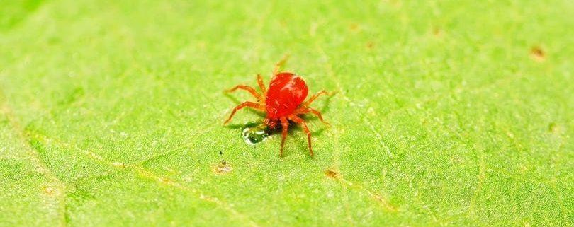 araña roja1