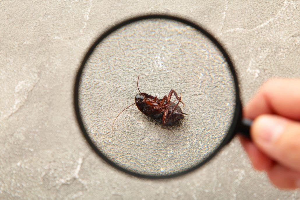 Cucaracha grande 1