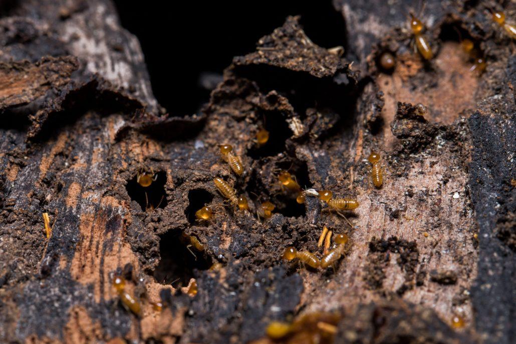 Tratamiento de termitas 1