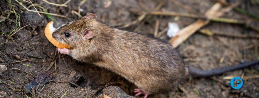 Portada diferencia ratas y ratones