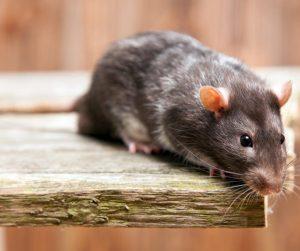 diferencia ratas y ratones 1